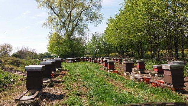 20 MAJA – Światowy Dzień Pszczół,  TVP Gdańsk na naszej pasiece!