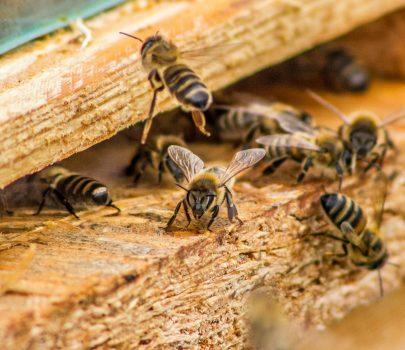 Królowa, robotnice, trutnie – czyli życie rodziny pszczelej